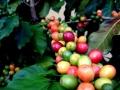 Fructe de cafea in diferite faze de coacere