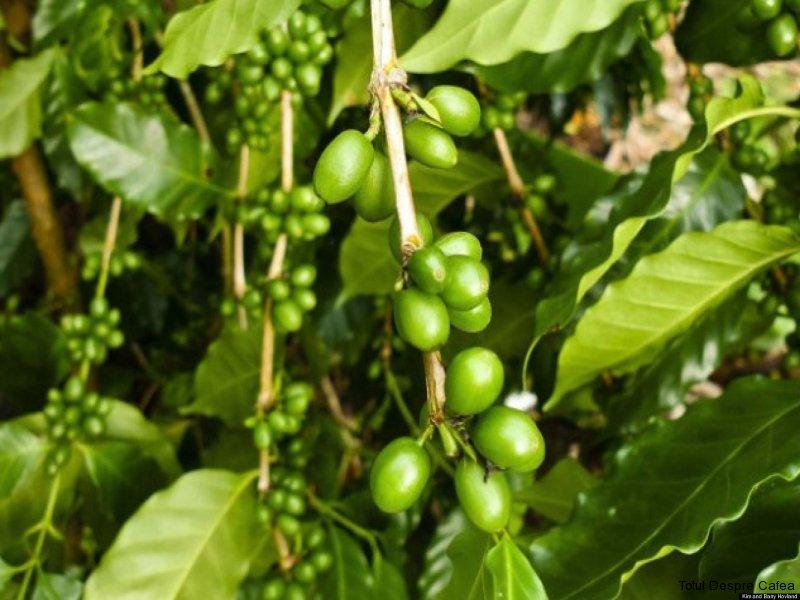 Fructe de cafea verzi